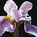 Lavender Iris On Black by Sharon Freeman