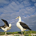 Laysan Albatross Courtship Dance Hawaii by Tui De Roy