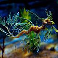 Leafy Sea Dragon by Tim Nichols