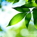 Leaves Green by Boon Mee