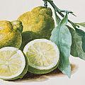 Lemons by Pierre Joseph Redoute