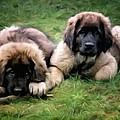 Leonberger Puppies by Gun Legler