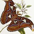 Lepidoptera by Edward Donovan