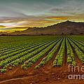 Lettuce Sunrise by Robert Bales