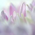 Light Impression 2. Pink Chrysanthemum  by Jenny Rainbow