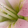 Lily And Raindrops by Melanie Viola