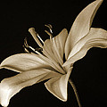 Lily by Sandy Keeton