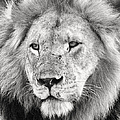Lion King by Adam Romanowicz