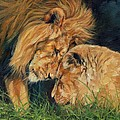 Lion  Love by David Stribbling