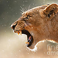 Lioness Displaying Dangerous Teeth In A Rainstorm by Johan Swanepoel