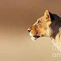 Lioness Portrait by Johan Swanepoel