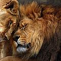 Lions In Love by Emmanuel Panagiotakis