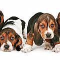 Litter Of Basset Hound Puppies by Susan Schmitz