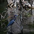 Little Blue Heron by Skip Willits