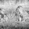 Little Lion Cub Brothers by Adam Romanowicz