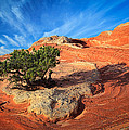 Lone Juniper by Inge Johnsson