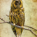 Long Eared Owl by Ray Downing