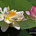 Lotus Pink -- Lotus White And Gold by Byron Varvarigos