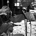 Lotuses In The Pond I. Black And White by Jenny Rainbow