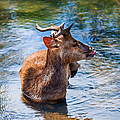 Lovely Time In Water.  Male Deer In The Pampelmousse Botanical Garden. Mauritius by Jenny Rainbow