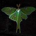 Lunar Moth by Bob Orsillo