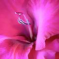 Magenta Splendor Gladiola Flower by Jennie Marie Schell