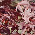 Maine Maple Leaves by Lena Hatch