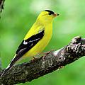 Male American Goldfinch by Thomas R Fletcher