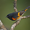 Male American Redstart by Neil Bowman