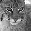 Male Bobcat - Black And White by Jennifer  King