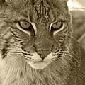 Male Bobcat - Sepia by Jennifer  King