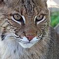 Male Bobcat1 by Jennifer  King