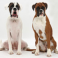 Male Boxer With Female Boxer Dog by Mark Taylor