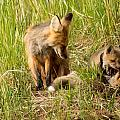 Mama Fox And Kits 2 by Natural Focal Point Photography