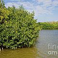 mangrove fores Print by Carol Ailles