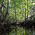 mangrove forest in Costa Rica 2 by Rudi Prott