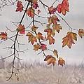 Maple In Gray Sky by Carolyn Doe