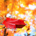 Maple Leaf and Fall Color