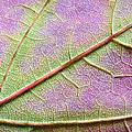Maple Leaf Macro by Adam Romanowicz