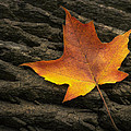 Maple Leaf by Scott Norris