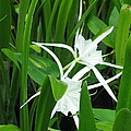Marsh lilies