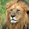 Masai Mara Lion Portrait    by Aidan Moran