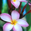 Maui Plumeria Print by Kathy Yates