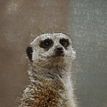 Meerkat 5 by Ernie Echols