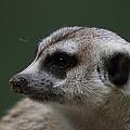 Meerket - National Zoo - 01137 by DC Photographer