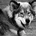 Miley The Husky With Blue and Brown Eyes - Black and White Print by Michael Braham