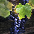 Mission Grapes II by Sharon Foster