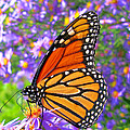 Monarch Butterfly by Olivier Le Queinec