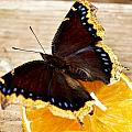 Morning Cloak Butterfly by Carol Toepke