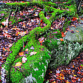 Moss Roots Rock And Fallen Leaves by Thomas R Fletcher